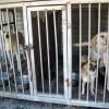 Three caged dogs