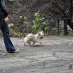 Gold and white terrier running