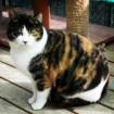 Shanti cat Shant