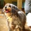 grey terrier lani