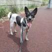 Hoochoo on a walk