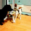 Playing tug-of-war with her favorite friend Myles and her favorite thing...SOCKS!