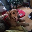 Max on his blanket under the Christmas tree in his foster home!