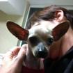 Bald Tiny Tim looks like a bat-eared fox! <3