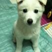 Adopt a jindo puppy.