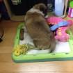 Peanut likes to put his toys on his pee pad tray