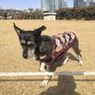 Hodu prancing in the park