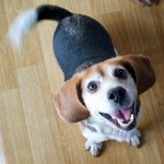 The friendly beagle at the Ugidongmul shelter