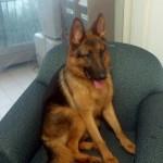 Apollo German Shepherd Korea