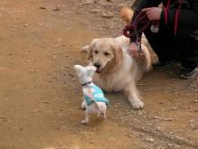 Hobble meets a Golden Retriever