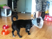 The day he was neutered...not sure what this cone is all about!