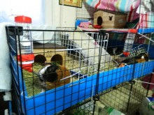 Cookie and Pumpkin have a sectioned off portion of the cage and Bubba has his own too.