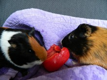 Munching on a red bell pepper together