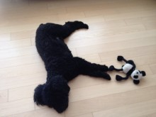 Sooty sleeping with his toy - black miniature poodle