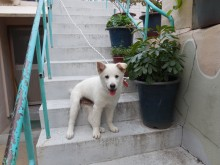 Jindo mix puppy