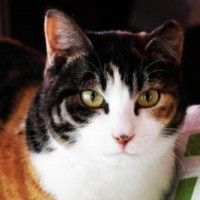Beatiful short-haired cat