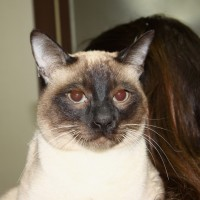 Siamese cat for adoption in South Korea