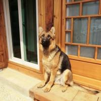 Pedigree certified German shepherd for adoption in Seoul