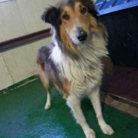 Ilsan shelter collie