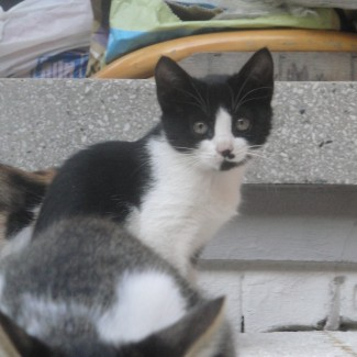 black and white kitty available for adoption