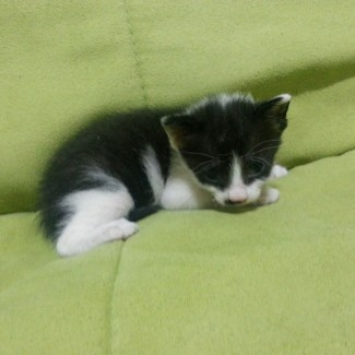 3 weeks old, abandoned kitten, female, white and black, precocious, likes attention