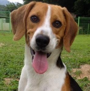 Must see Smart Beagle Adorable Dog - IMG_0706_1  Gallery_414598  .jpg?itok\u003ddLH1j_0y