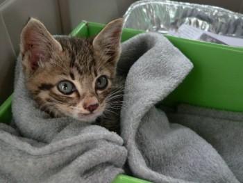 Foster kitten wrapped in blanket