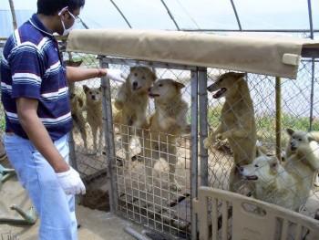 Volunteer greets 7 caged Jindos