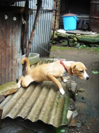 Dog pulls against tether