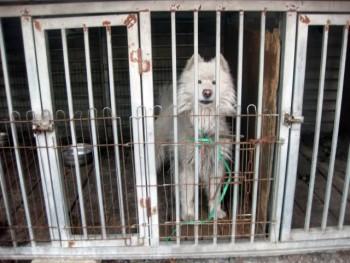 Caged Samoyed at a municipal shelter