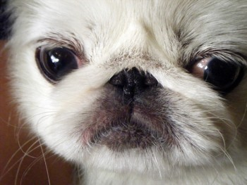 Closeup of Pekingese