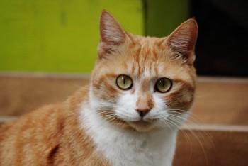 KAPS cat