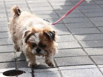 Dog walks on lead
